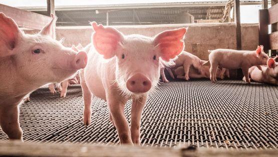 Futterkohle für Schweine
