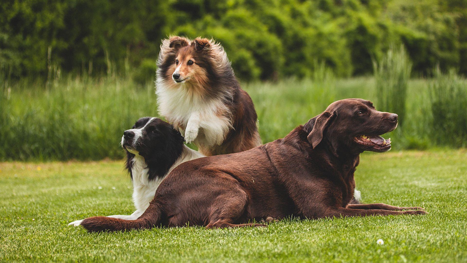 CharLine Futterkohle für Hunde - Agility Edition | CharLine GmbH