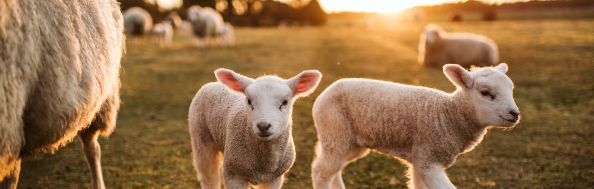 Futterkohle für Schafe